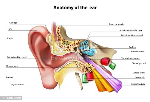 Anatomy of the ear. Vector illustration.