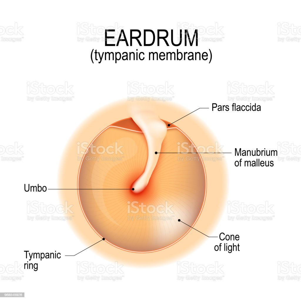 Anatomy Of The Eardrum Stock Vector Art More Images Of Acoustic