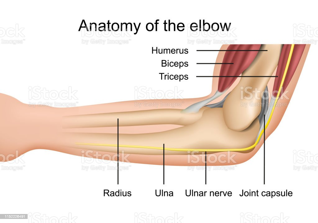 anatomy of the elbow medical vector illustration with description...
