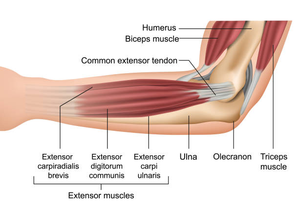 bildbanksillustrationer, clip art samt tecknat material och ikoner med anatomi armbågen muskler medicinsk vektor illustration - människoarm