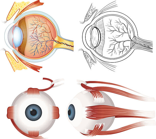 Anatomy of the eye Anatomy of the human eye on a white background septum stock illustrations