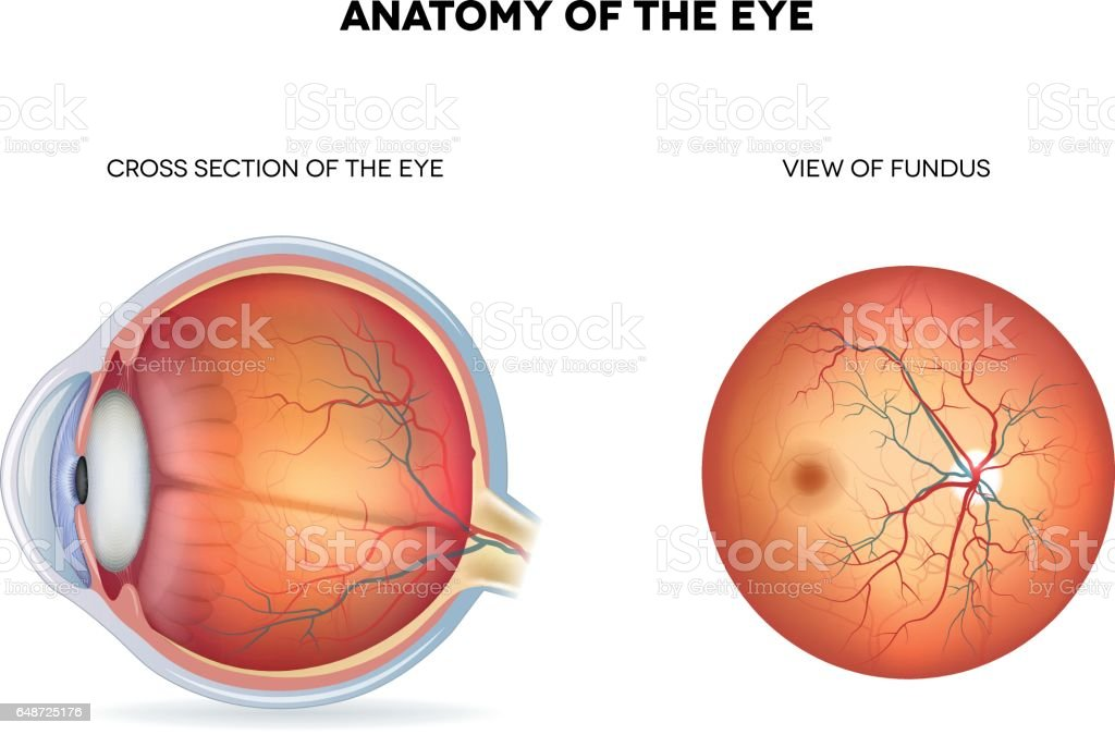 Anatomy of the eye vector art illustration