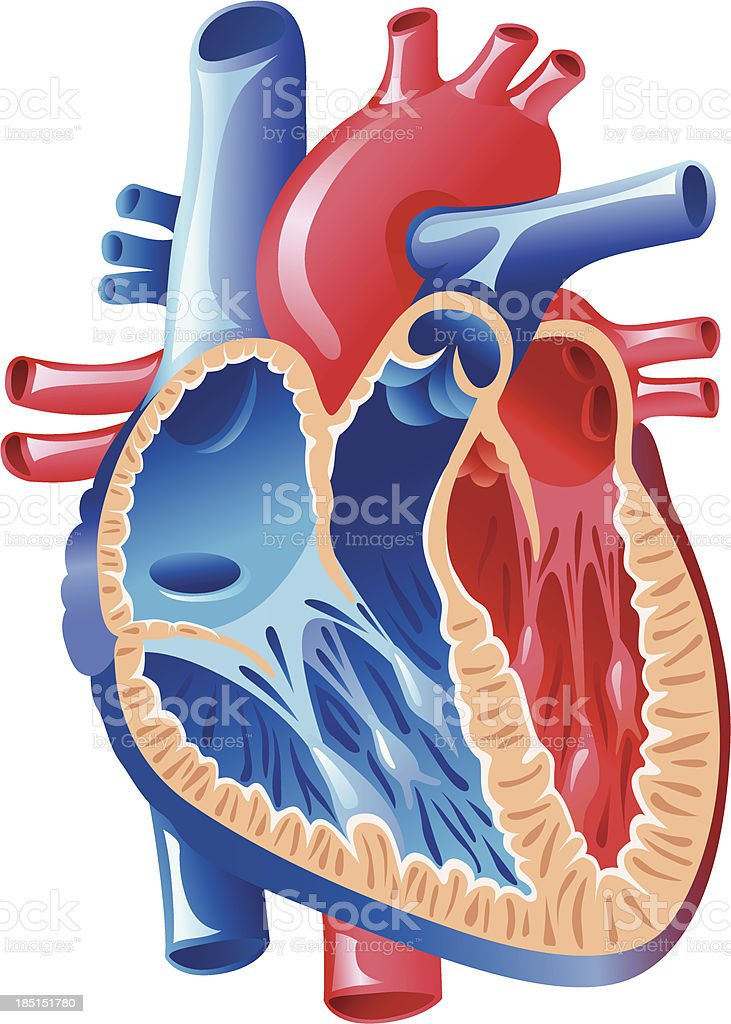 Anatomy Of The Heart Stock Vector Art & More Images of Anatomical ...