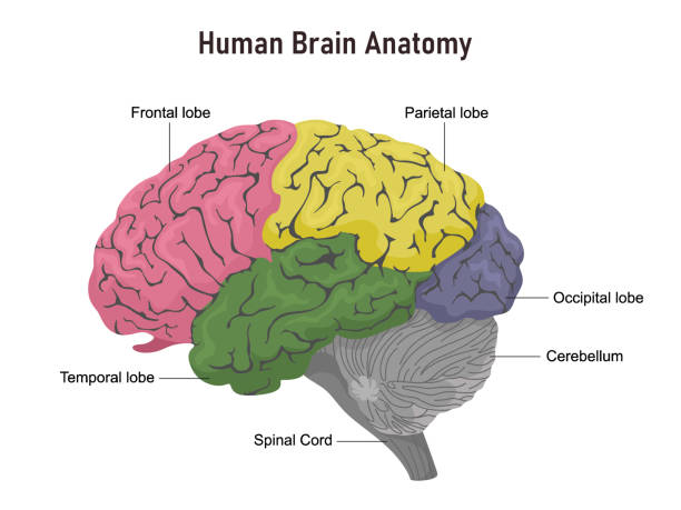Anatomy of the human brain in departments with names. Vector illustration on white background. Anatomy of the human brain in departments with names. Vector illustration on white background. temporal lobe stock illustrations