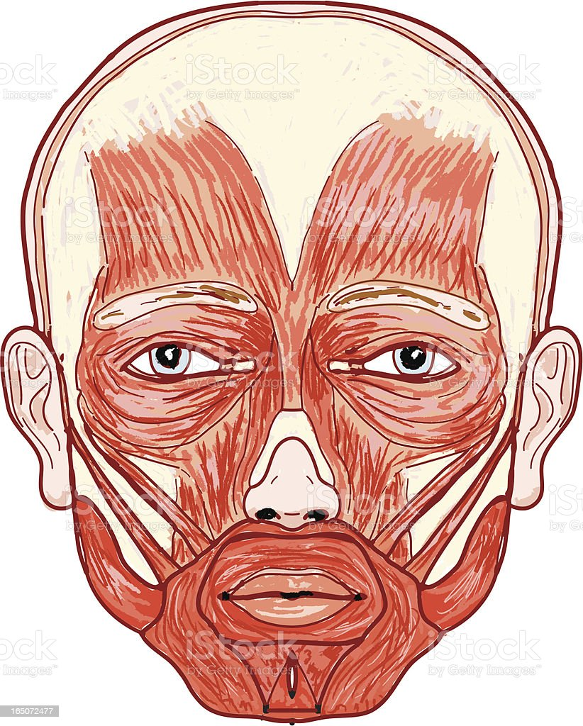 Anatomy Of The Human Face Stock Vector Art More Images Of Anatomy