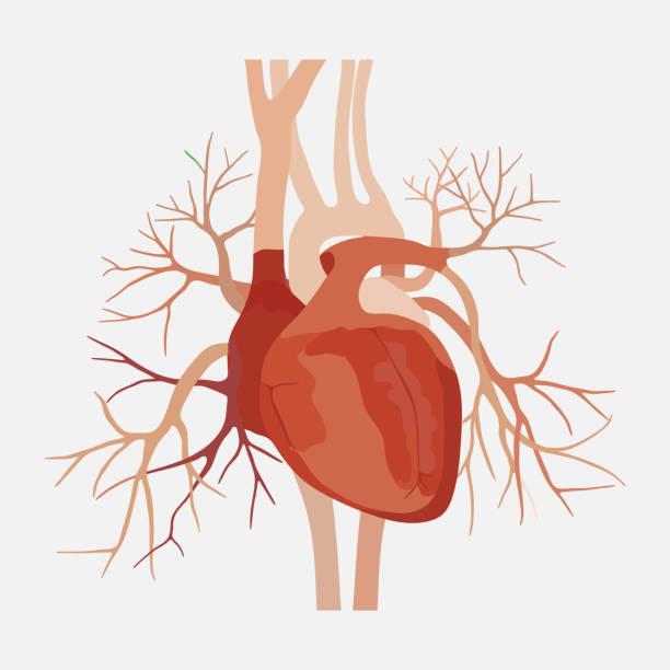 anatomy of the human heart, heart, medical science, the atria an vector art illustration