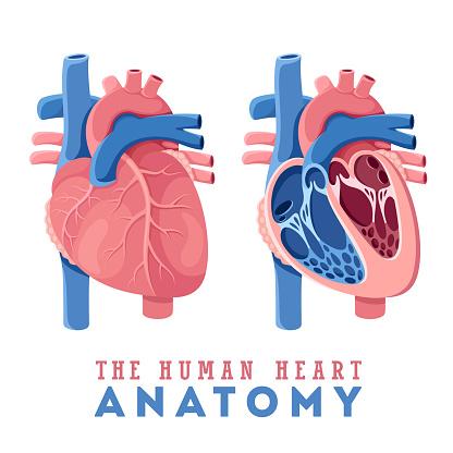 Anatomy of the human heart