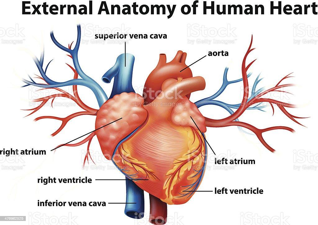 Anatomy of the human heart vector art illustration