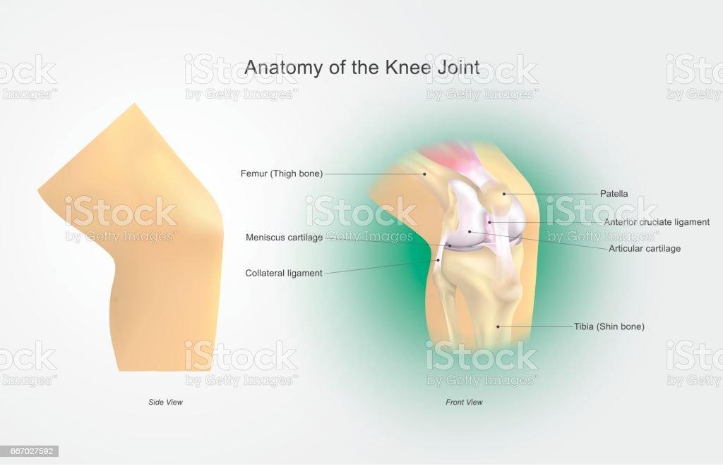 Anatomy of the Knee Joint vector art illustration