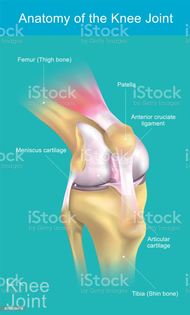 Anatomy of the Knee Joint. vector art illustration