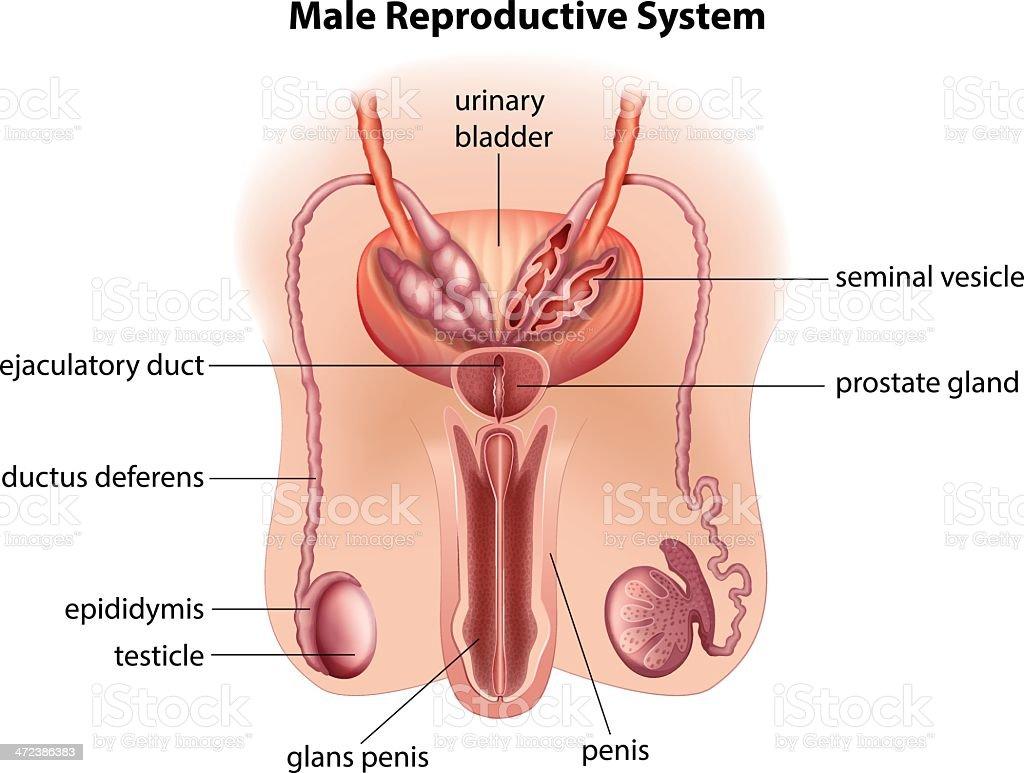 Ilustración de Anatomía Del Sistema Reproductor Masculino y más ...