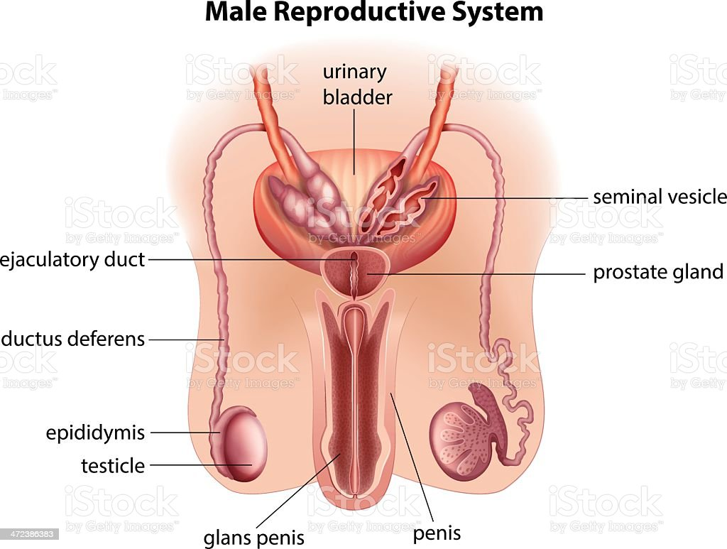Male Reproductive System Diagram Clip Art - Download Wiring Diagrams •
