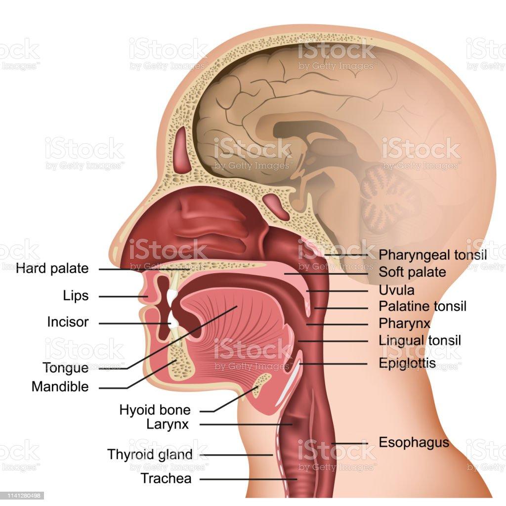 Anatomie van de mond en tong medische vector illustratie op witte achtergrond - Royalty-free Ademhalingsstelsel vectorkunst