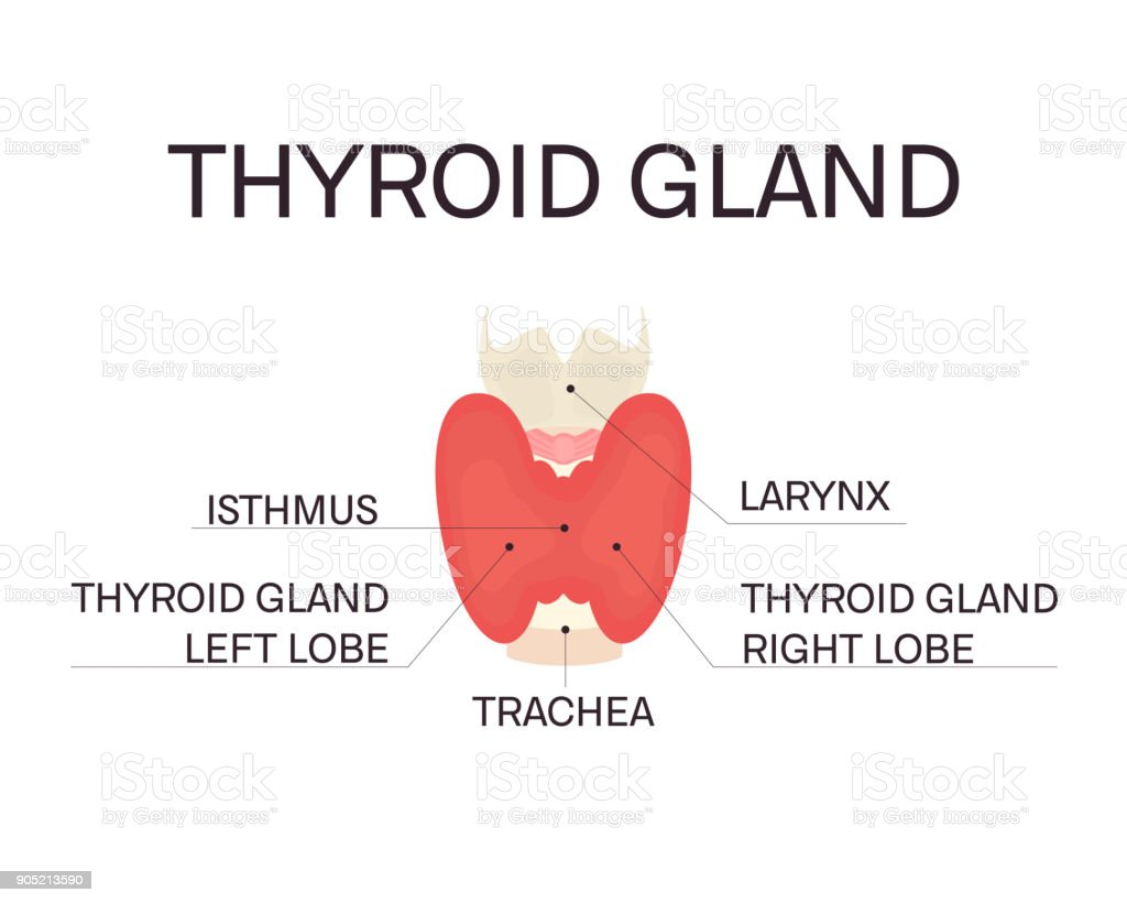 Anatomy Of Thyroid Gland Stock Vector Art More Images Of Adult