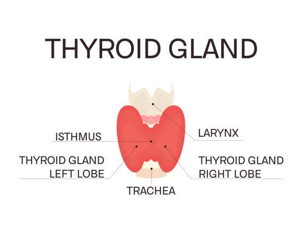 Anatomy of thyroid gland vector art illustration