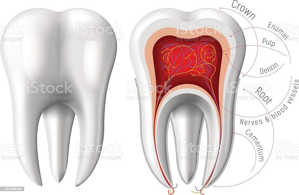 Anatomie Der Zahn Stock Vektor Art und mehr Bilder von 2015 ...