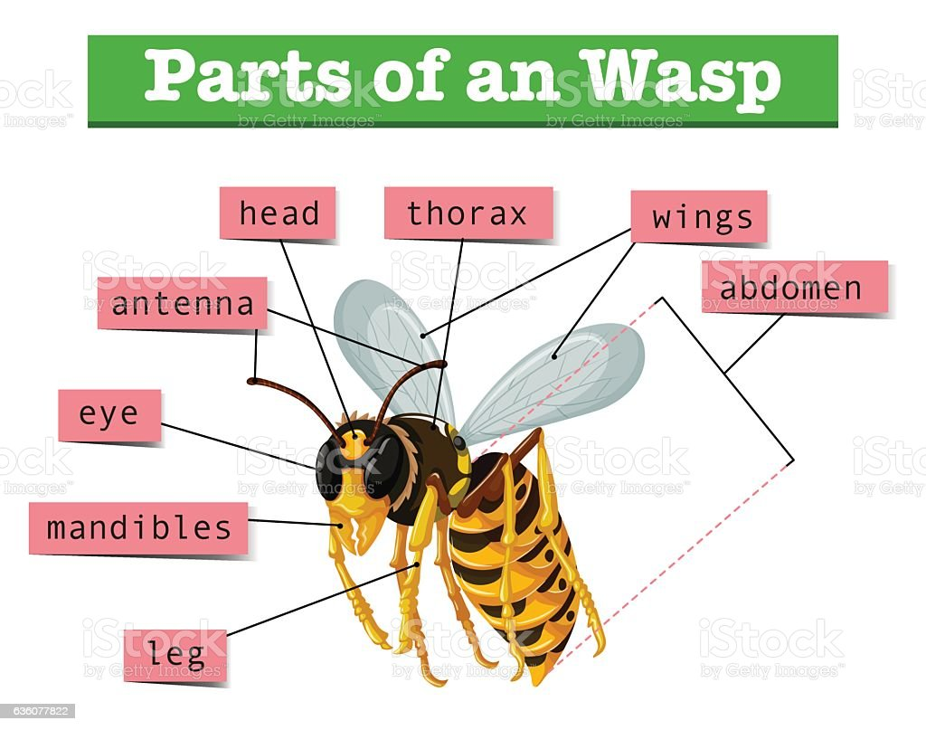 Anatomy Of Wasp With Words Stock Vector Art More Images Of Animal