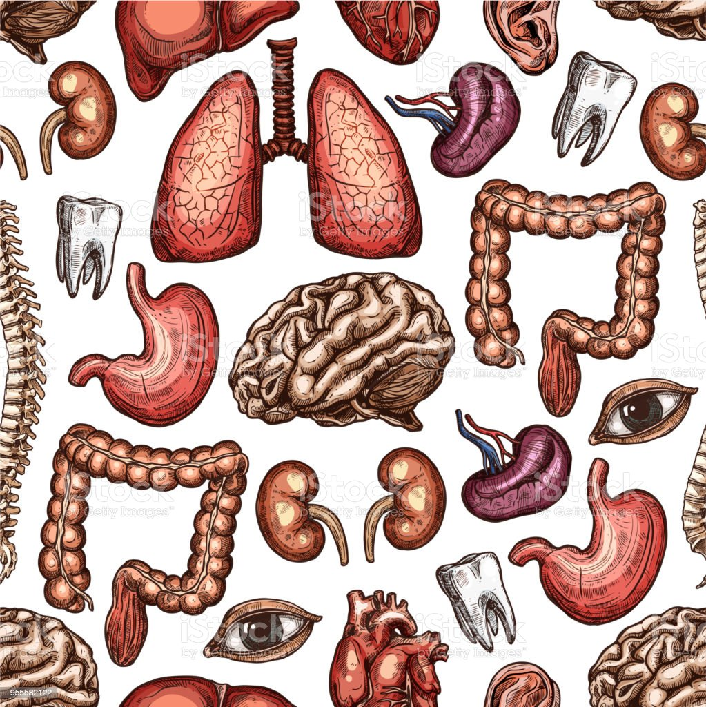 Anatomie Musterdesign Hintergrund Der Menschliche Organ Stock Vektor ...