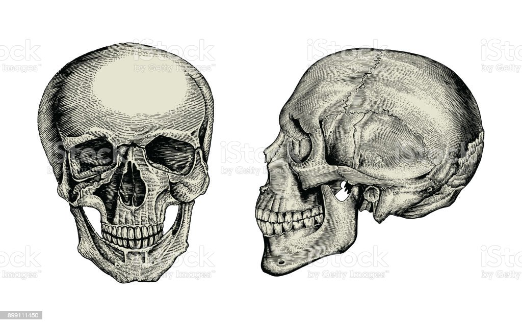 Anatomy Skull Hand Drawing Vintagelateral And Front View Of Human ...