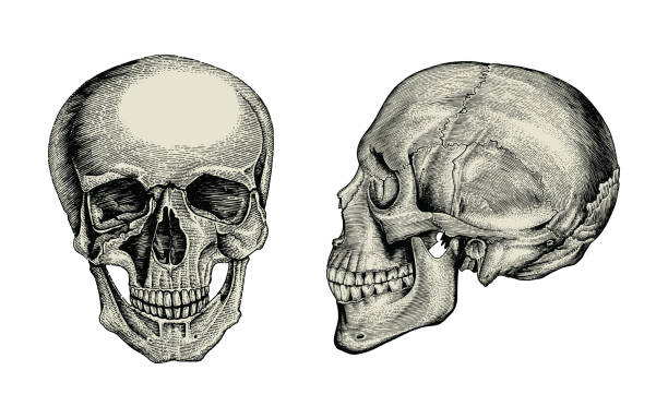 Anatomy skull hand drawing vintage,Lateral and front view of human skull Anatomy skull hand drawing vintage,Lateral and front view of human skull lateral surface stock illustrations