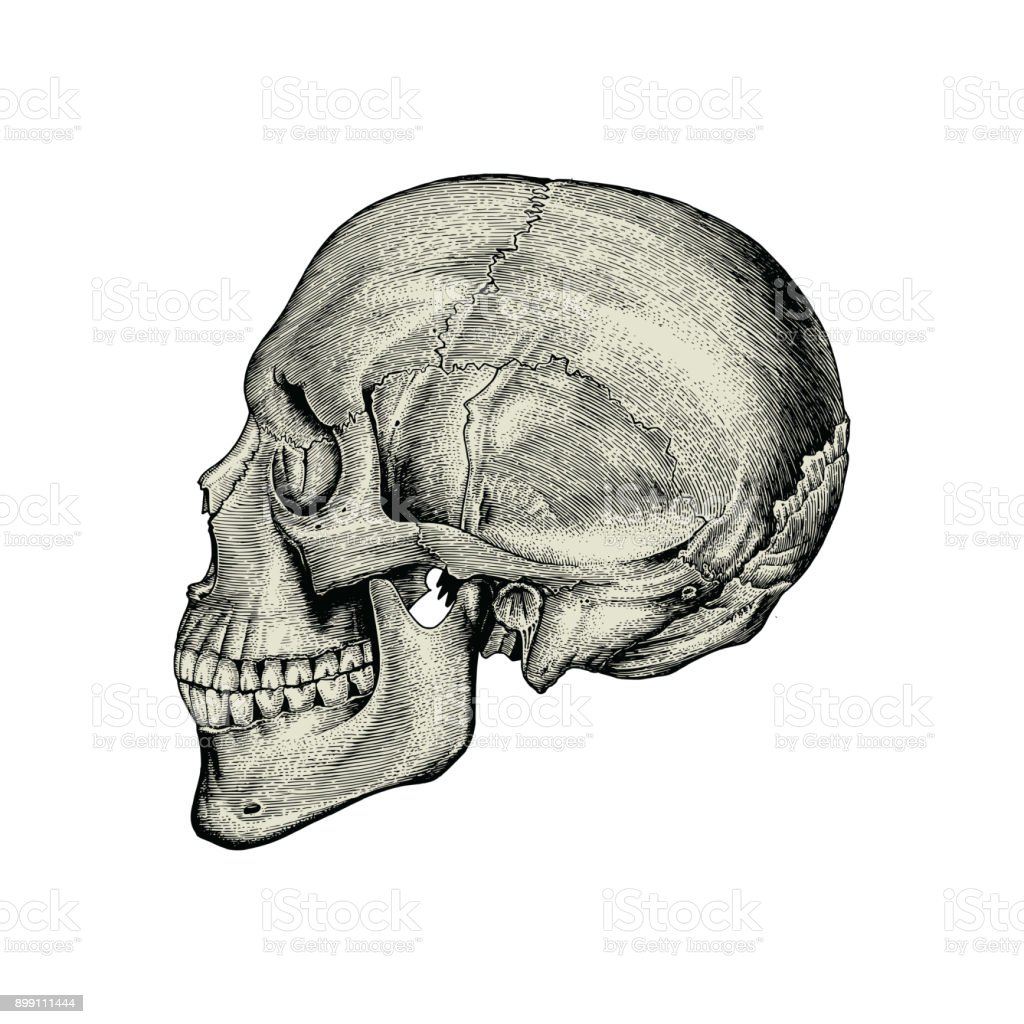 Anatomy Skull Hand Drawing Vintagelateral View Of Human Skull Stock ...
