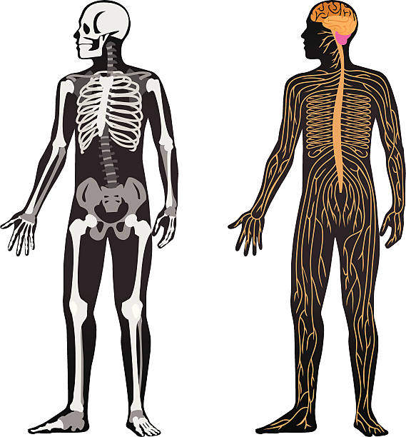 Anatomy Vector File of Human Body Showing Anatomy human nervous system stock illustrations