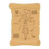 Ancient scroll  of Mandrake root. Archaic papyrus of Legendary plant. Old scheme. Secret Invention of Leonardo da Vinci. Vintage document