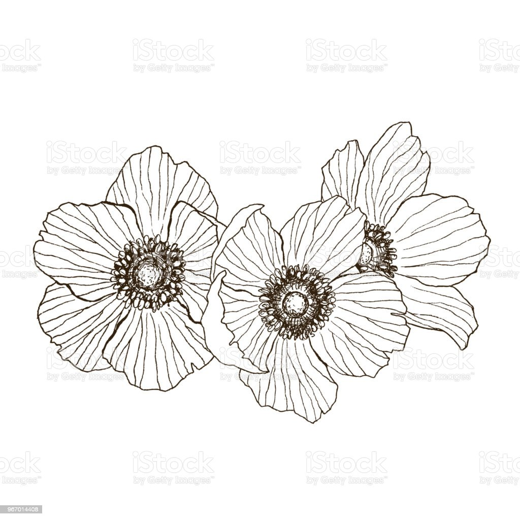 Anémone Fleur Dessin Vectoriel Bouquet Isolés De Plantes