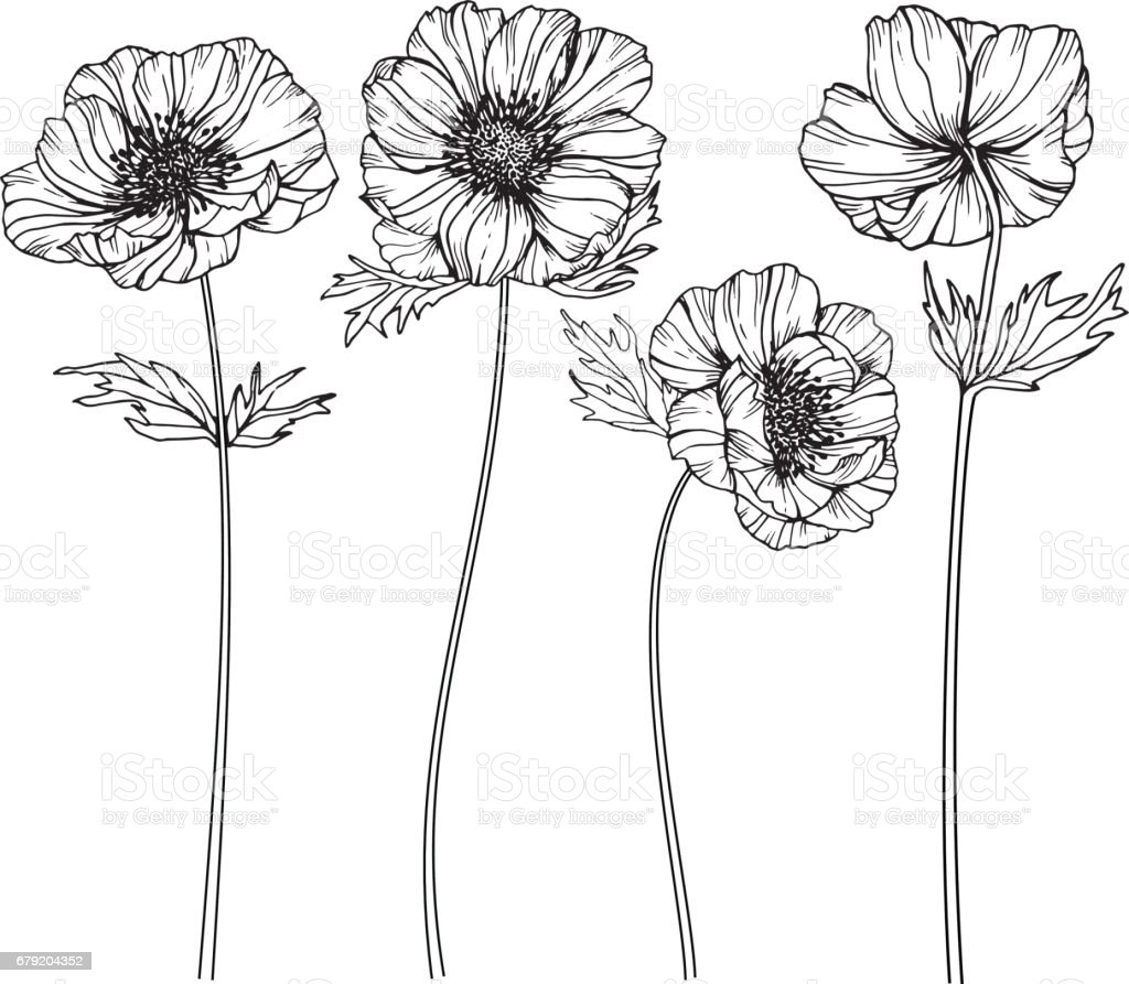 Line Art Flowers Images : Anemone flowers drawing and sketch with lineart on white