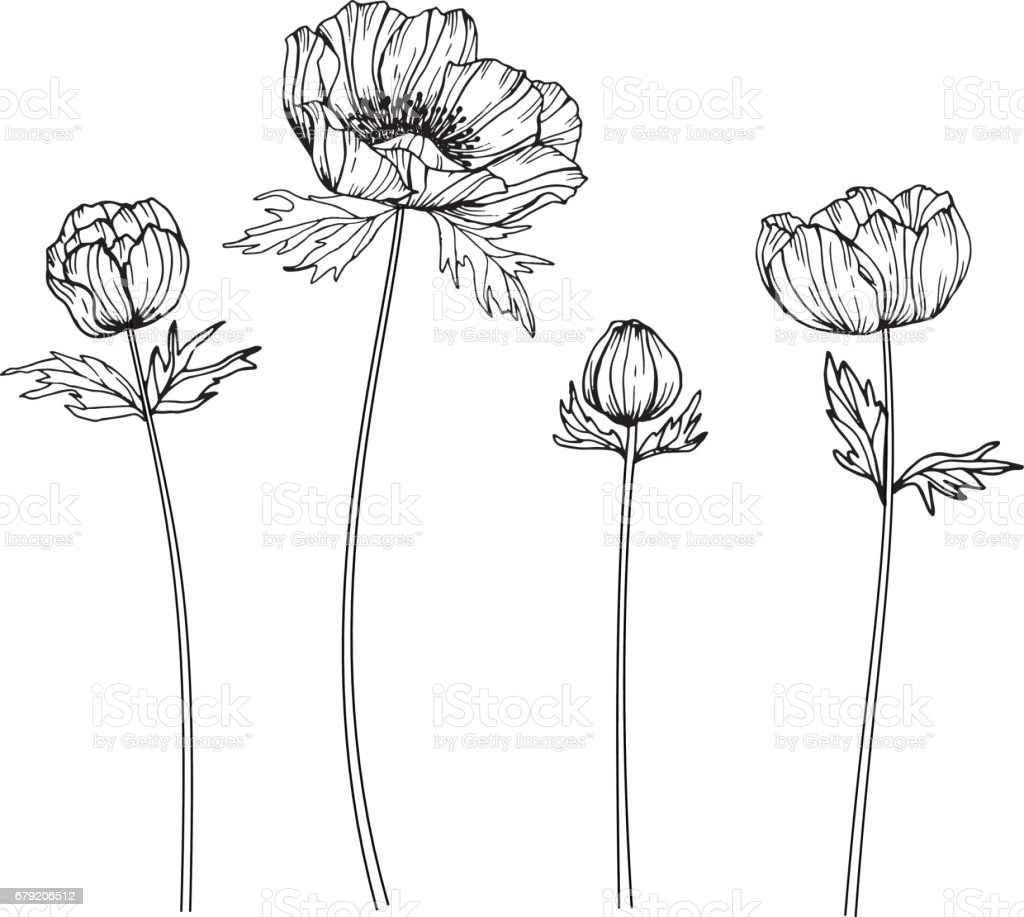 Anemone Flower Line Drawing : Anemone flowers drawing and sketch with lineart on white
