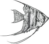 Angelfish illustration, drawing, engraving, ink, line art, vector