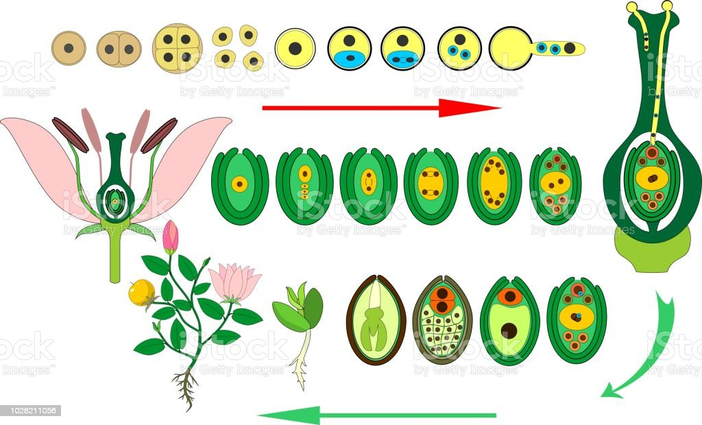 Angiosperm Plant Life Cycle Diagram Of Life Cycle Of Flowering Plant