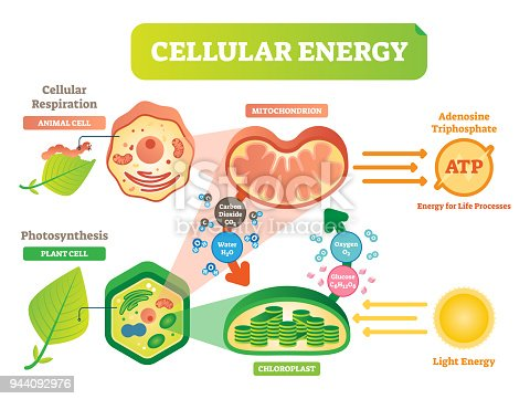 Animal and plant cell energy cycle vector illustration diagram with mitochondrion and chloroplast interaction. Photosynthesis and cellular respiration scheme. Biological info poster.