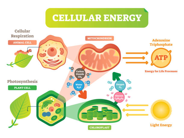 Animal and plant cell energy cycle vector illustration diagram with mitochondrion and chloroplast interaction. Animal and plant cell energy cycle vector illustration diagram with mitochondrion and chloroplast interaction. Photosynthesis and cellular respiration scheme. Biological info poster. mitochondrion stock illustrations
