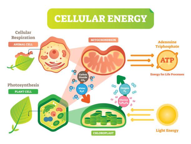 tierischen und pflanzlichen zelle energie zyklus abbildung zeigerdiagramm mit mitochondrium und chloroplast interaktion. - stoffwechsel stock-grafiken, -clipart, -cartoons und -symbole