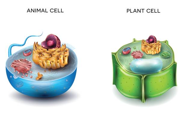 Animal Cell and Plant Cell structure Animal Cell and Plant Cell structure, cross section detailed colorful anatomy. biological cell stock illustrations