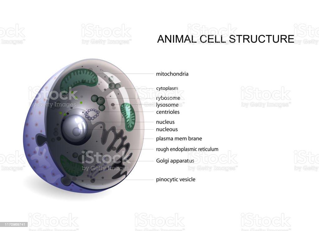 Vetores De Célula Animal Estrutura Da Parede Celular E Mais