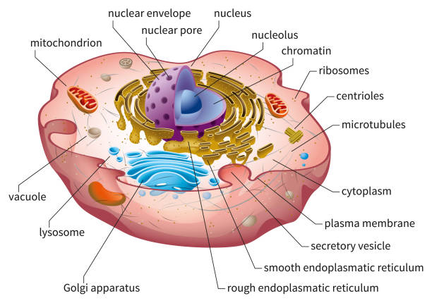 Animal Cell Structure Eukaryotic cell diagram, vector illustration, text on own layer biological cell stock illustrations