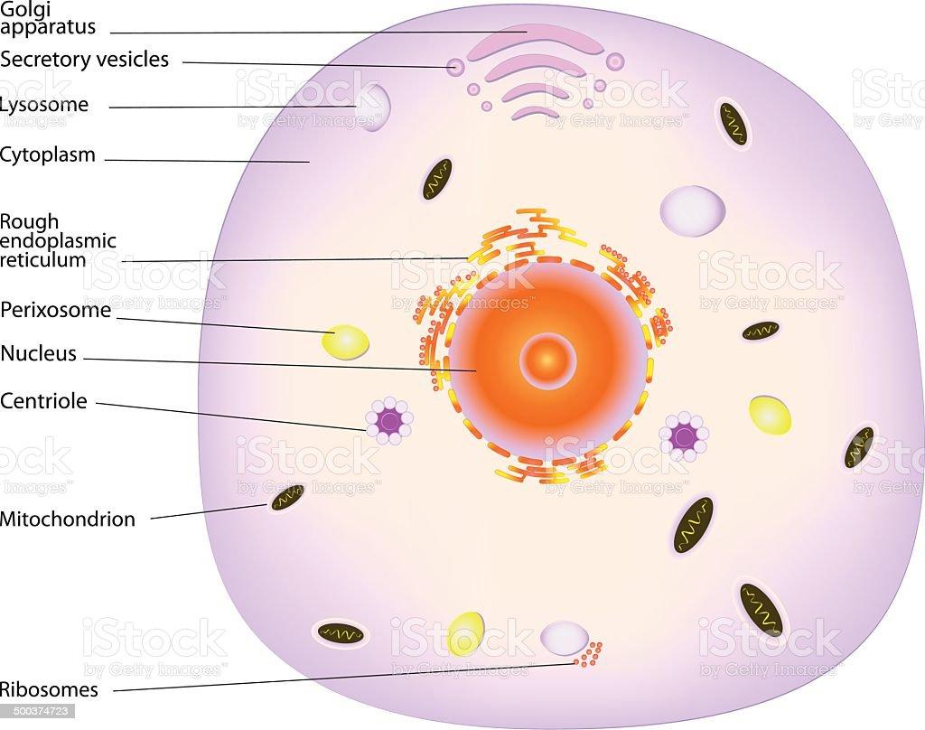 animal cell vector art illustration
