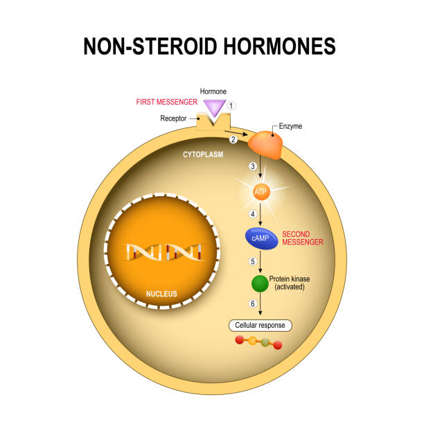 ilustraciones, imágenes clip art, dibujos animados e iconos de stock de animal célula con núcleo, citoplasma, adn, enzima, kinase de proteína - thyroxine