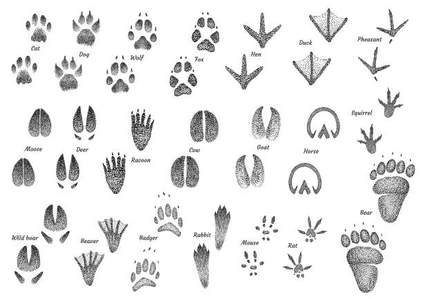 Animal footprint collection illustration, drawing, engraving,   ink, line art, vector Illustration, what made by ink, then it was digitalized. chicken bird stock illustrations