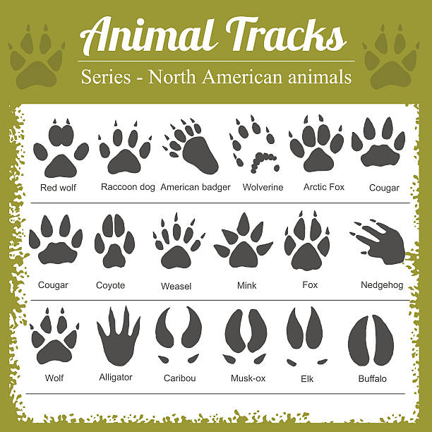 Animal Footprints - North American animals Animals Footprints - North American animals - vector set alligator stock illustrations