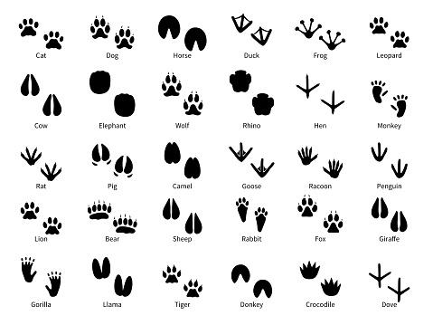 Animal footprints. Walking track animals paw with name, pets tracks, bird and wild animals trail, wildlife safari feet silhouette vector prints