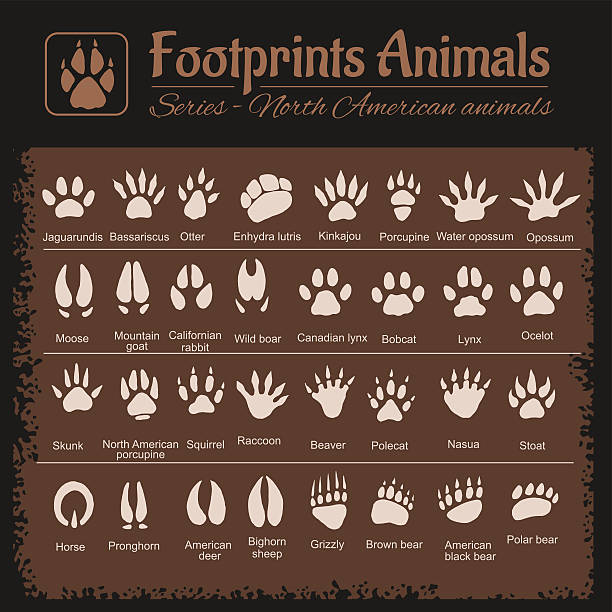 Animal Tracks - North American animals Animals Tracks - North American animals - vector set ermine stock illustrations