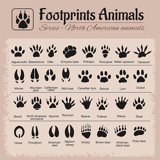 tierische spuren-north amerikanische tiere - bergziegen stock-grafiken, -clipart, -cartoons und -symbole