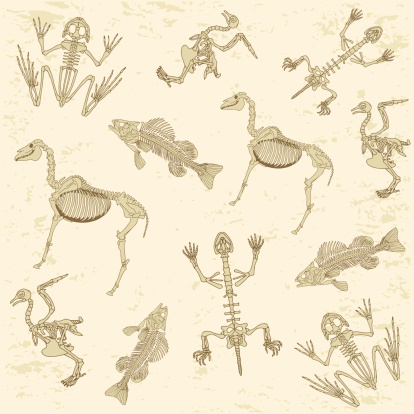 animals anatomy, skeleton pattern