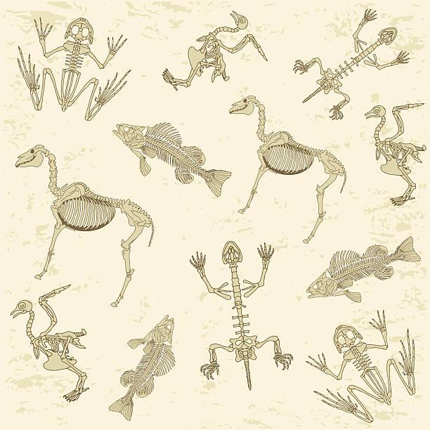 animals anatomy, skeleton pattern - animal skeleton stock illustrations