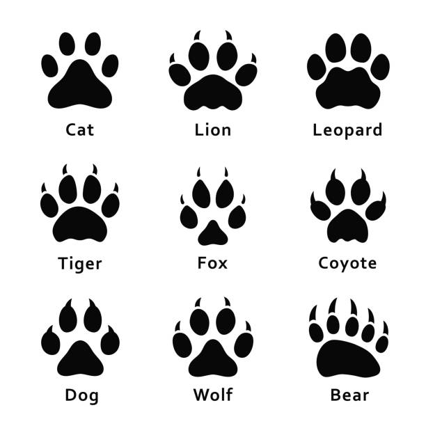 ilustrações de stock, clip art, desenhos animados e ícones de animals footprints, paw prints. set of different animals and predators footprints and traces. cat, lion, leopard, tiger, fox, wolf, coyote, dog, bear - cão selvagem