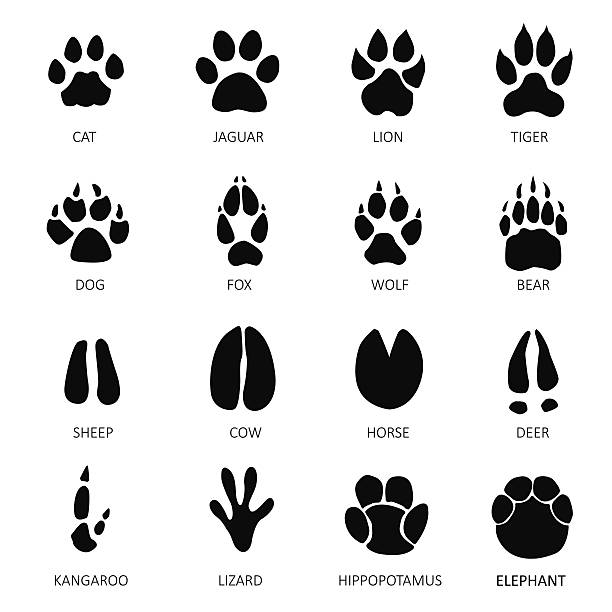 animals footprints - tiger stock illustrations, clip art, cartoons, & icons