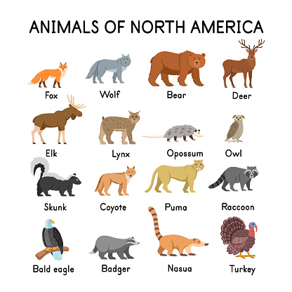 Animals of North America: fox, wolf, bear, deer, elk, skunk, lynx, opossum, owl, coyote, cougar, raccoon, bald eagle, badger,  nasua, turkey on a white background.Flat cartoon illustration for kids.